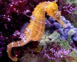 Ambiente tanti gli abissi del mediterraneo ancora ignoti for Immagini di cavalluccio marino