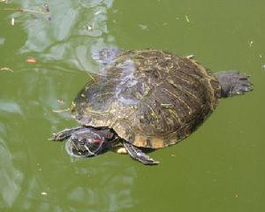Animali sul trasimeno l 39 unico ricovero per tartarughe for Lago tartarughe